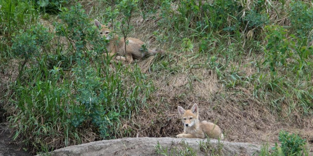 4. Два койвольфа в Альберте, Канада. Эти животные гораздо лучше приспособлены к меняющемуся миру, че