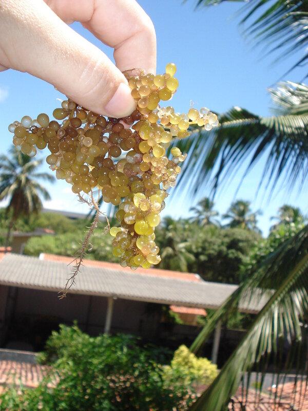 Виноград из океана