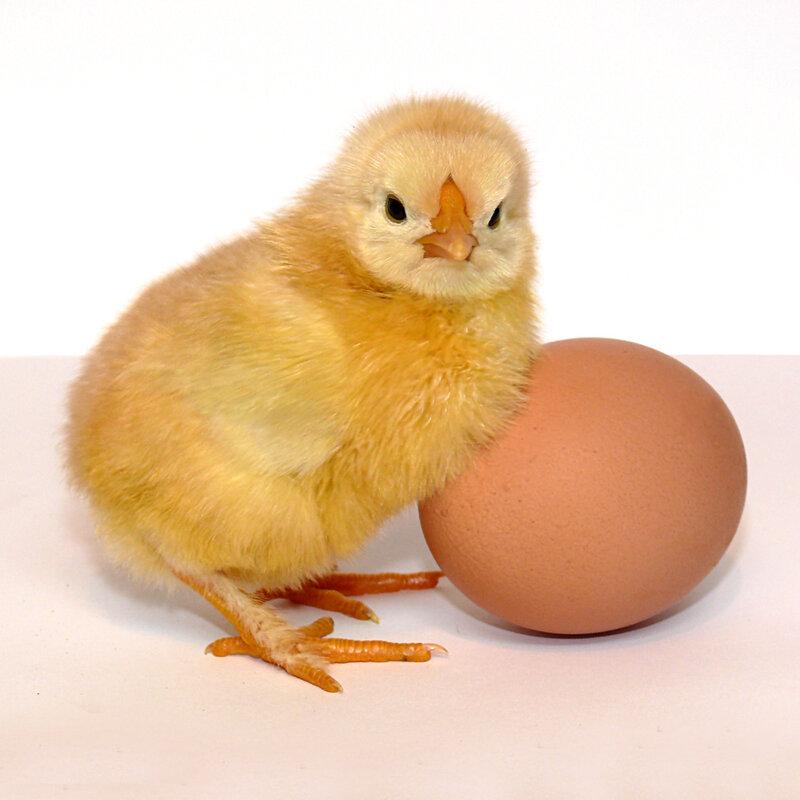 """""""Наше исследование показало, что с помощью употребления куриных яиц можно...  В яичных белках был найден компонент..."""