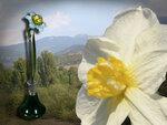 Нарцисс 4ф пейзаж.jpg