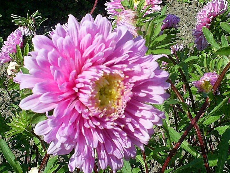 cunningly: астры цветы.