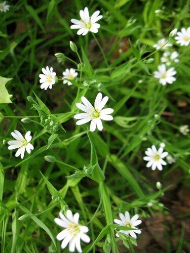 Белые полевые цветы мелкие