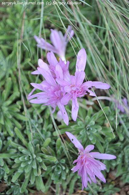 Colchicum Wasserlilly.JPG
