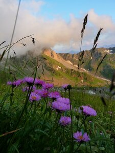 Астра альпийская на фоне скалы Загедан