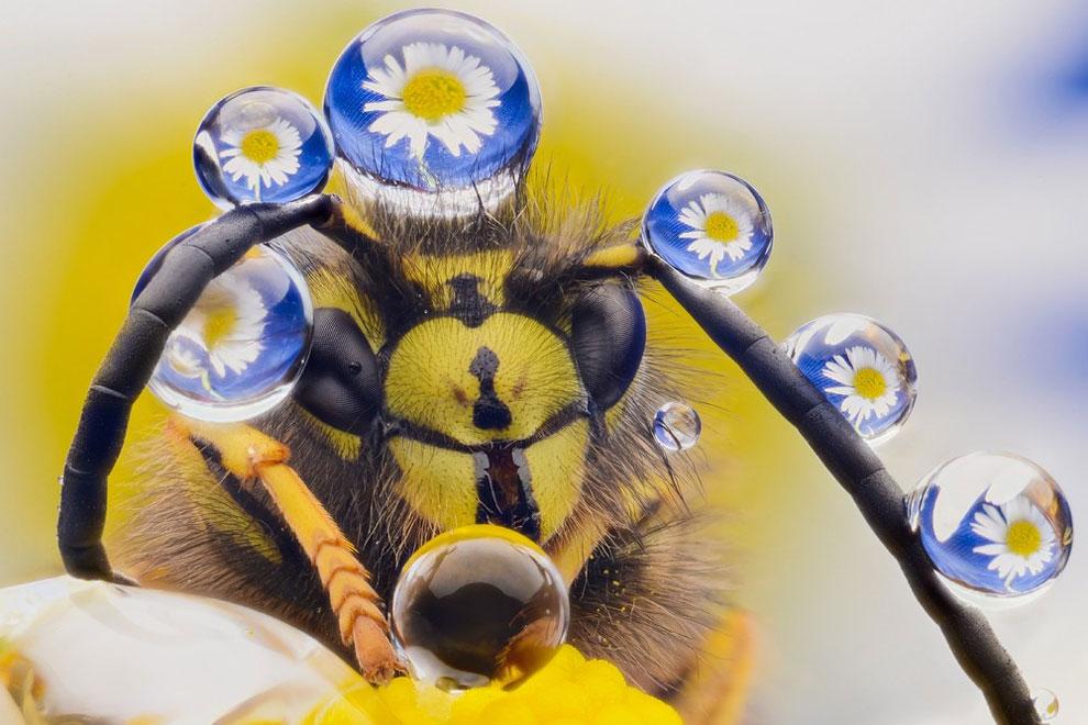 Пчела медоносная. Фото: Murray Mcculloch.