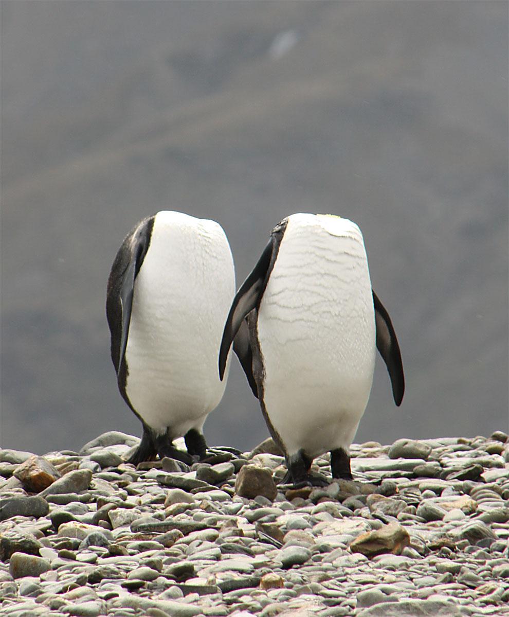 Пингвины. Фото: Charles Kinsey.