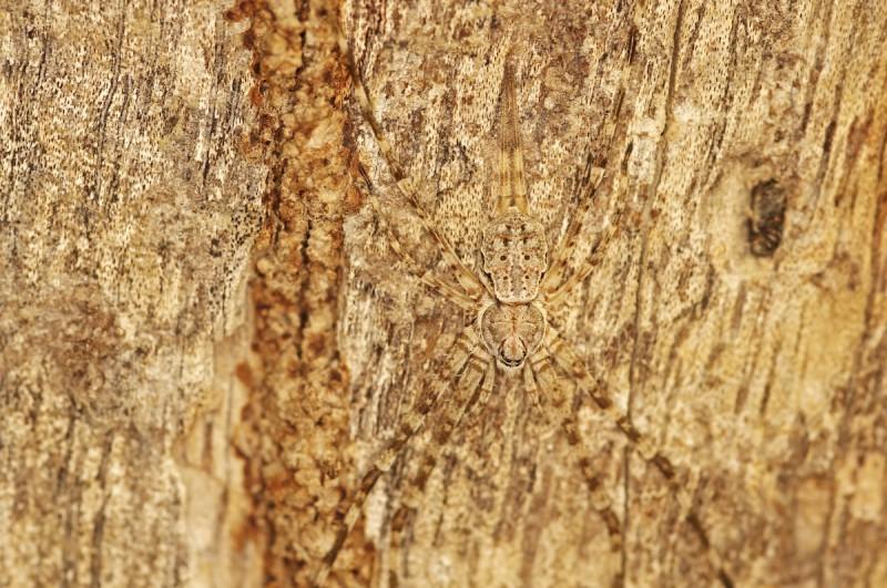 Двухвостый паук.