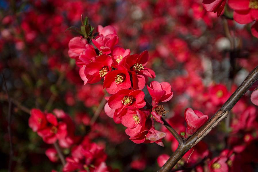 6. Айва японская (хеномелес) значительно отличается от айвы обыкновенной. Прежде всего, это кус