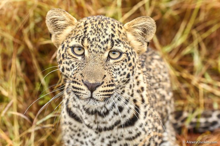 Леопардик Поли.  (17 фото)