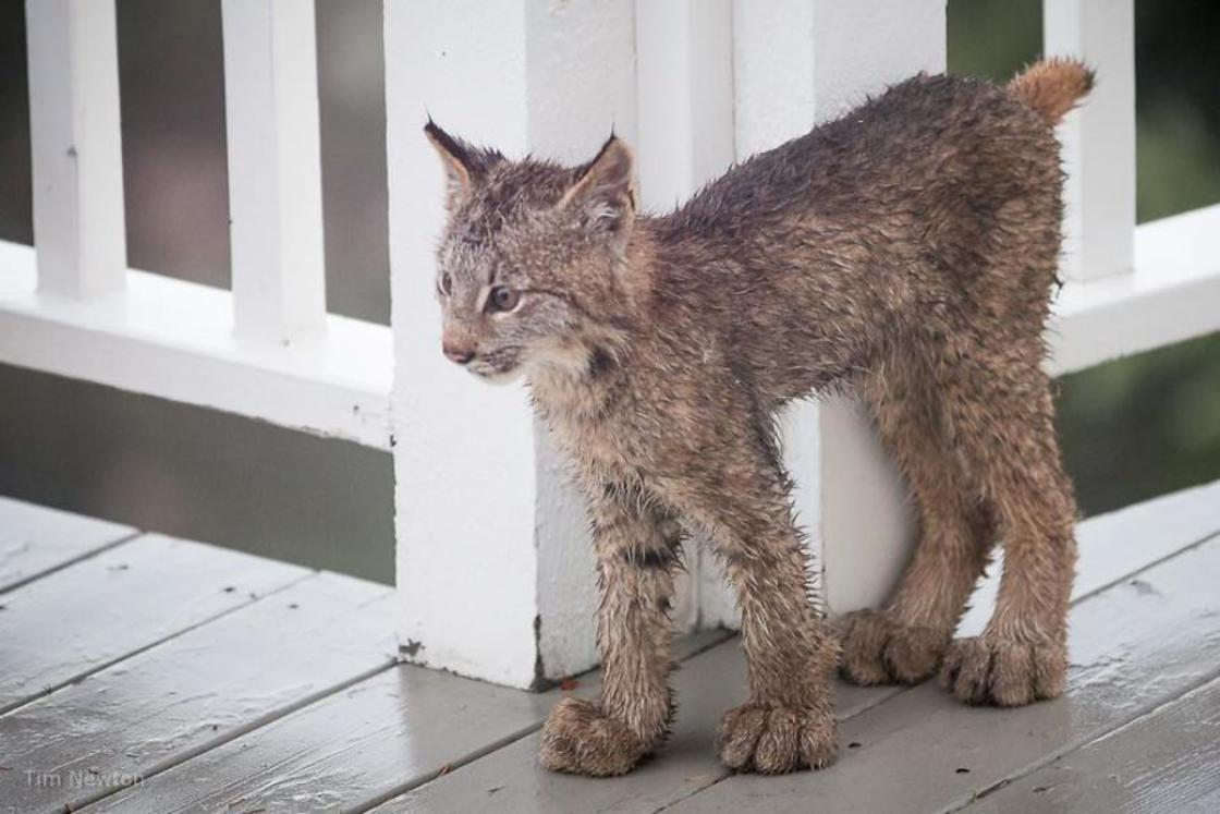Waking up, he discovers a mom Lynx and her cute cubs playing on his terrace