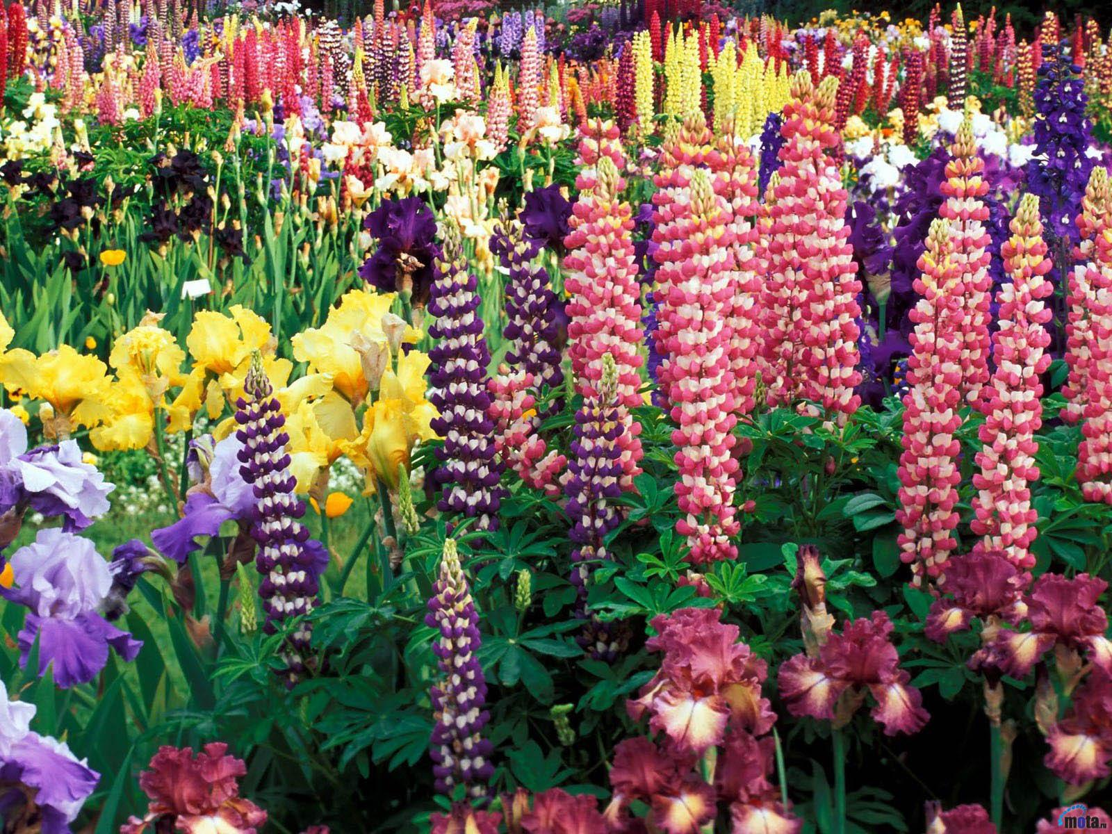 Высокие садовые цветы названия и фото по алфавиту