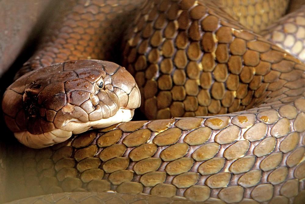 Заклинатель змей поймал две 4-метровые кобры и голыми руками удалил у них ядовитые зубы