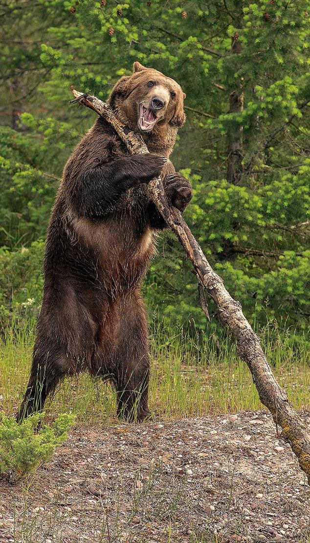 Как в мультфильме: медведь чешет спину стволом дерева