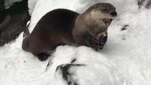Веселые выдры купаются в снегу