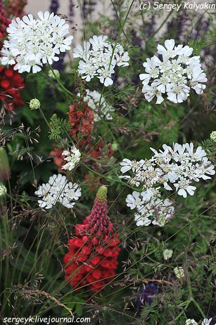 Orlaya grandiflora.jpg