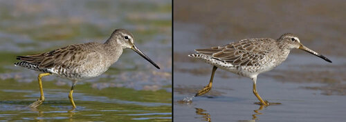 nonbreeding Long-billed _L_ and Short-billed Dowitchers.jpg