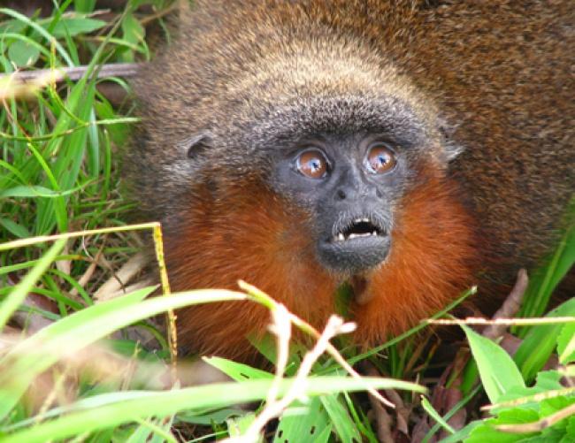 © Source, Fair use  Этот примат, открытый в2008году, ксожалению, находится под угрозой исче