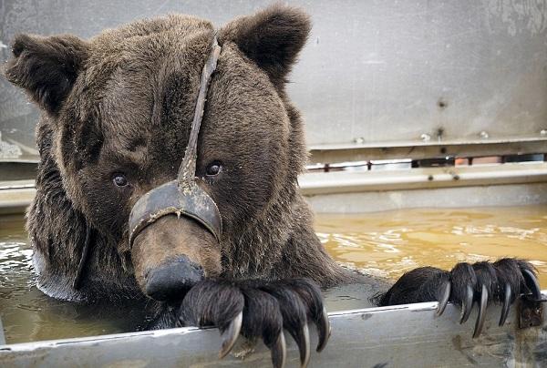 Картинки по запросу Кадры не для слабонервных! Жуткие скитания цирковых медведей, которые уже не могут участвовать в шоу