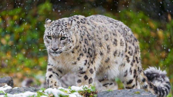 Снежный барс или ирбис Снежный барс является довольно крупным хищным млекопитающим животным из семей