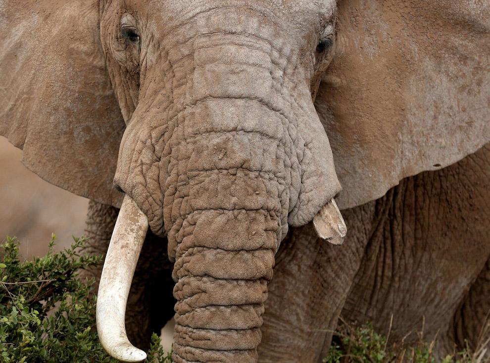 12. Саванный слон является самым крупным из ныне живущих наземных животных. Самым крупным экзем