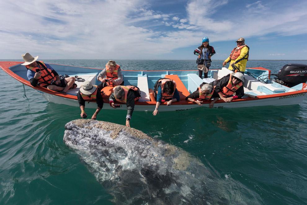 8. Серые киты обычно кормятся на глубине 15–60 метров. При кормёжке кит накреняется на правый б
