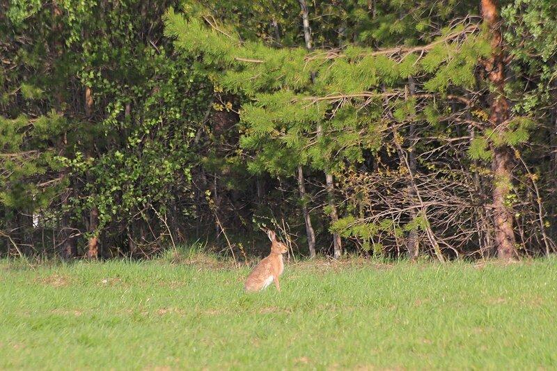 Крупный заяц-русак (лат. Lepus europaeus) весной на поле в Яранском районе Кировской области