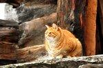Толстая швейцарская кошка