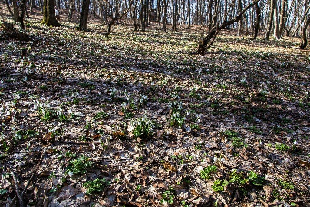 Подснежники в старокрымском лесу