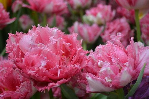 Махровая краса тюльпанов