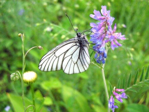 Мышиный горошек и бабочка