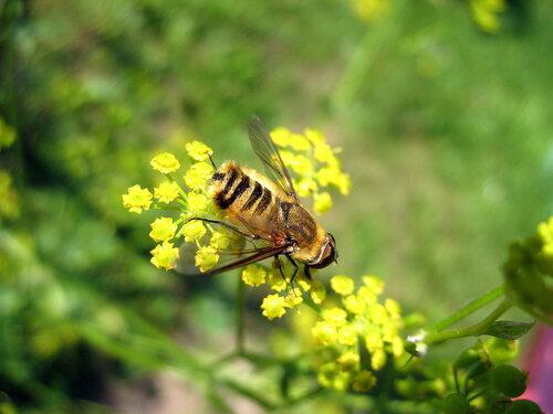 Мохнато-полосатая муха