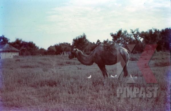 stock-photo-german-supply-camel-in-field-near-smolensk-1942-9196.jpg