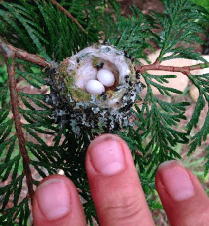 колибри.png