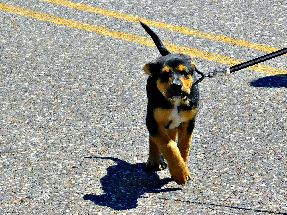 Собаки 4-го июля