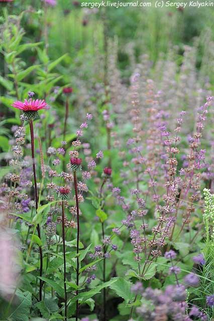 Echinacea Fatal Attraction Salvia verticillata.JPG