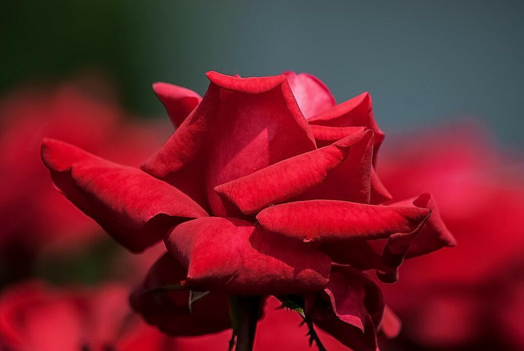 О, роза красная! Ты – символ страсти...