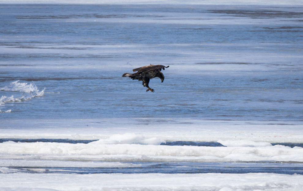 3. Окончательный перьевой наряд орлан приобретает лишь в начале шестого года жизни. С этого воз