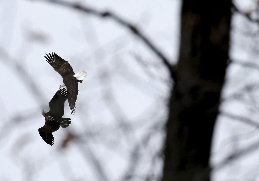 7. В первой половине XX века численность популяции белоголового орлана значительно снизилась, в