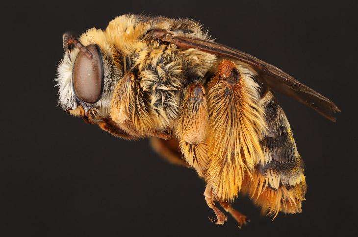Макроснимки пчёл (10 фото)