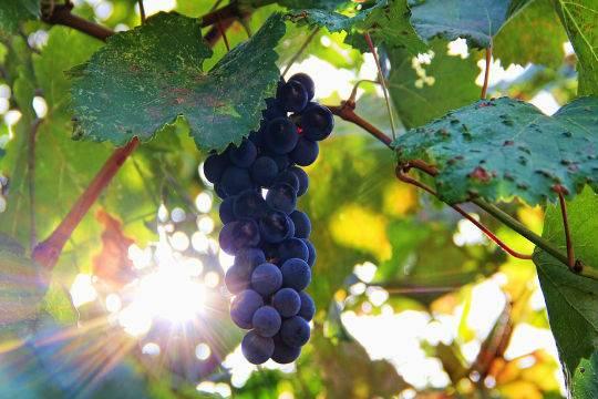 Ученые поведали, как виноград несомненно поможет вборьбе сраком