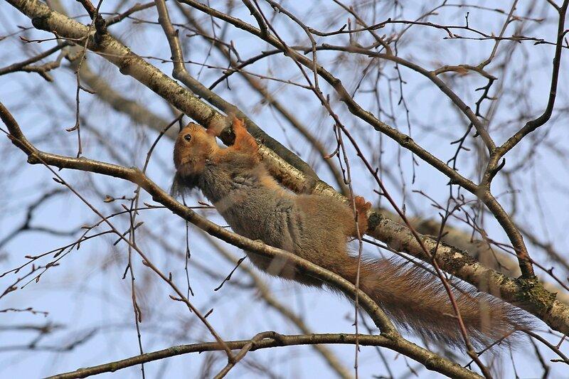 Белочка вниз головой слизывает потёки березового сока с ветки дерева - Чем питаются белочки ранней весной