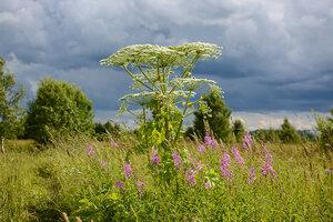 Борщевик Сосновского (Heracleum sosnowskyi)