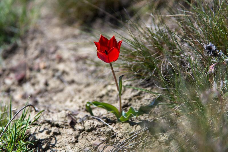 Аленький цветочек (тюльпан Шренка)
