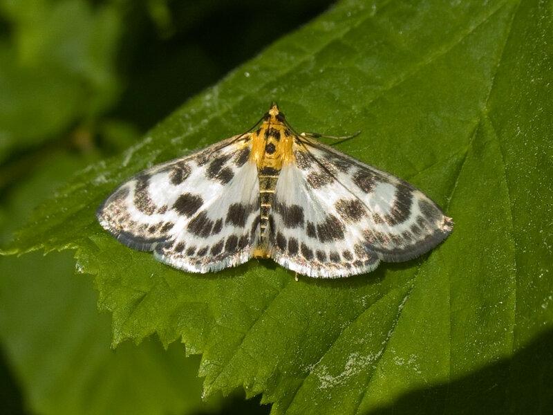 Огнёвка крапивная (Eurrhypara urticata L.)