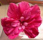 Гибискусы - Ярко-розовый махровый