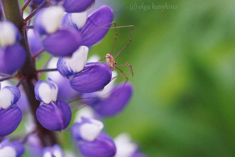 Сенокосец (отряд Opiliones)на люпине