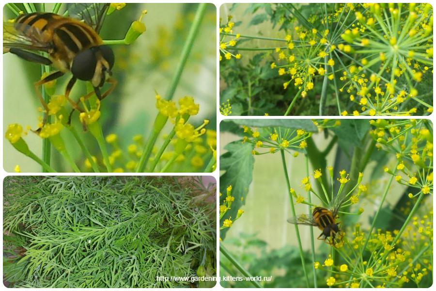 Укроп — полный огород! О пользе и важности укропа на огороде
