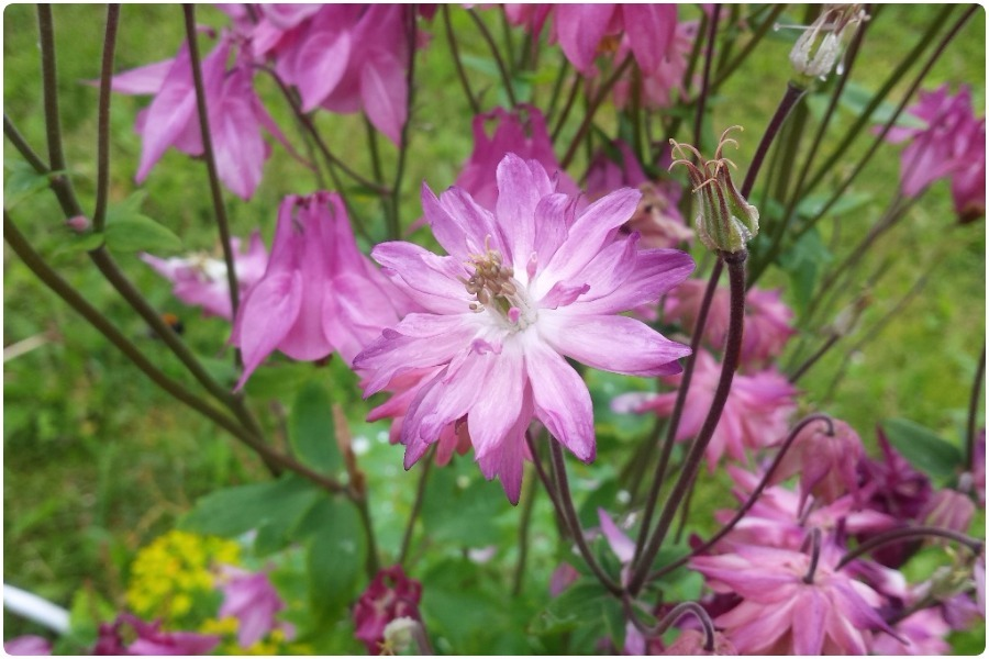 Какие цветы можно посадить под зиму - 24 многолетника-Аквилегия