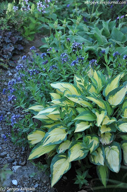 Amsonia ciliata Hosta Orange Marmalade.JPG