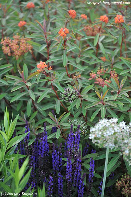 Salvia nemorosa Caradonna Allium Euphorbia griffittii Dixter.JPG